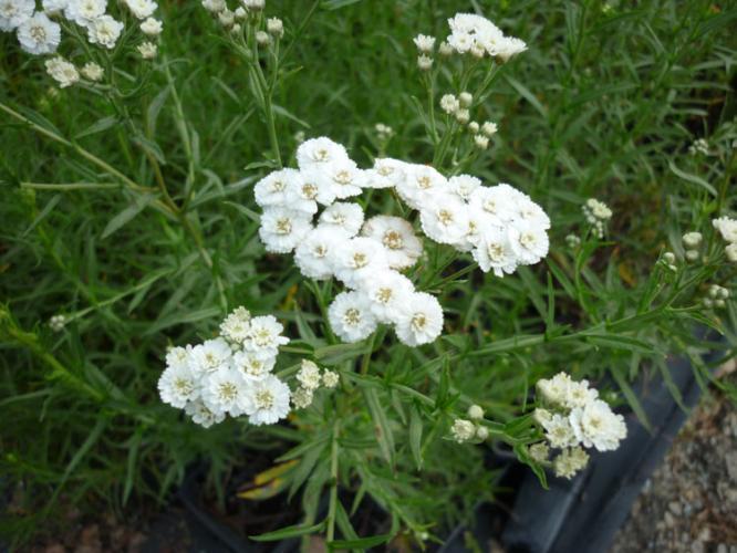 Achillea ptarmica 39 boule de neige 39 asteraceae achill e - Boule de neige plante ...