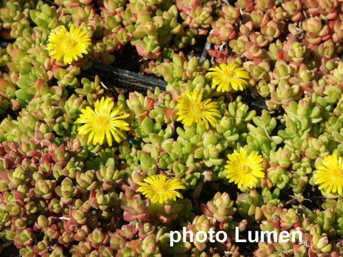 Delosperma lineare aizoaceae pourpier vivace for Plante grasse exterieur vivace