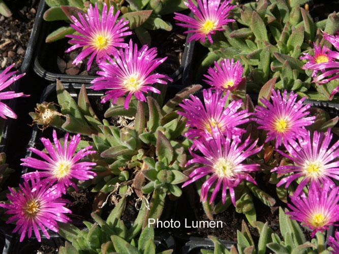 delosperma sutherlandii aizoaceae pourpier vivace. Black Bedroom Furniture Sets. Home Design Ideas