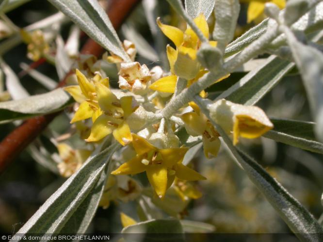 elaeagnus angustifolia elaeagnaceae olivier de boh me. Black Bedroom Furniture Sets. Home Design Ideas