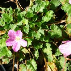 Erodium x variabile  'Bishop's Form'