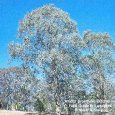 Eucalyptus kartzoffiana