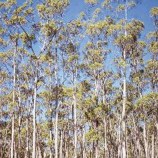 Eucalyptus rodwayi