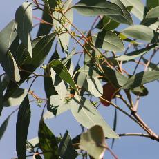Eucalyptus blakelyi