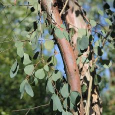 Eucalyptus camphora