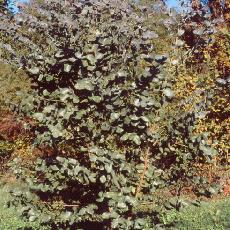 Eucalyptus neglecta
