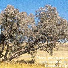 Eucalyptus nortonii