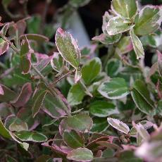 Euonymus fortunei  'Emerald Gaity'