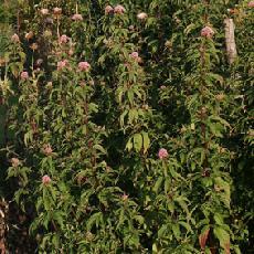 Eupatorium purpureum subsp. maculatum  'Atropurpureum'