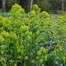 Euphorbia amygdalo�des var. robbiae