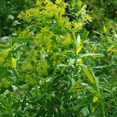 Euphorbia palustris