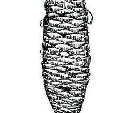 Abies homolepis