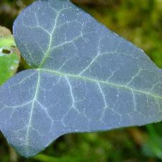 Hedera helix  'Atropurpurea'