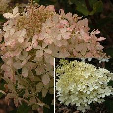Hydrangea paniculata  'Phamtom'