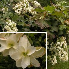 Hydrangea quercifolia  'Snow Flake'
