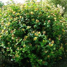 Hypericum x inodorum  'Rheingold'