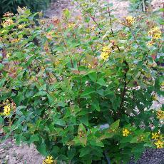 Hypericum x inodorum  'Elstead'