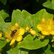 Hypericum x inodorum  'Summergold'
