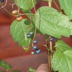 Ampelopsis aconitifolia