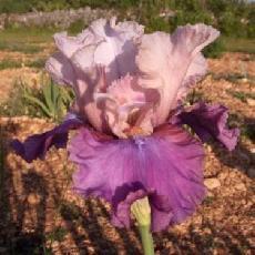 Iris  'Adventuress'