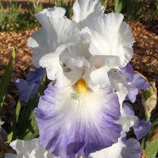 Iris  'Aliz�s'