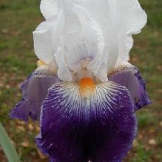 Iris  'Bal Masqu�'