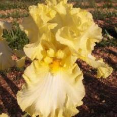 Iris  'Big Dipper'