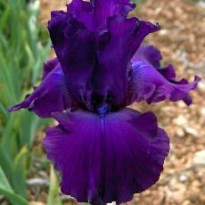 Iris  'Loyalist'