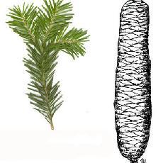 Abies cilicica