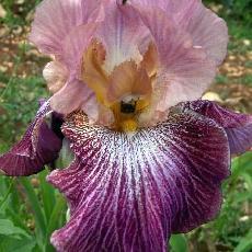 Iris  'Vibrations'