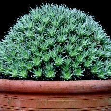 Abrometiella brevifolia