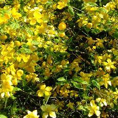 Kerria japonica  'Aureovariagata'