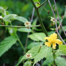 Kerria japonica  'Simplex'