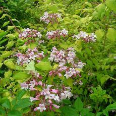 Kolkwitzia amabilis  'Maradco'