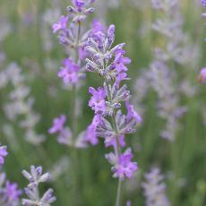 Lavandula angustifolia  'Twickle Purple'