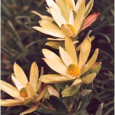 Leucadendron gandgogeri