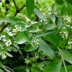 Ligustrum obtusifolium  'Forescate'