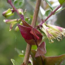 Lonicera nitida  'Red Tips'