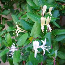 Lonicera japonica  'Hall's Prolific'