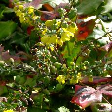 Mahonia japonica  'Bealei Group'