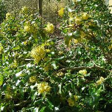 Mahonia x wagneri  'undulata'
