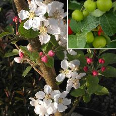 Malus  'Everest'