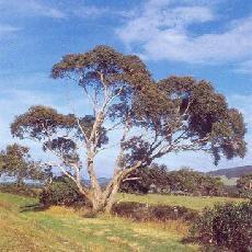 Eucalyptus viminalis subsp. pryoriana