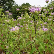 Plantes vivaces for Les plantes vivaces