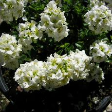 Arabis japonica
