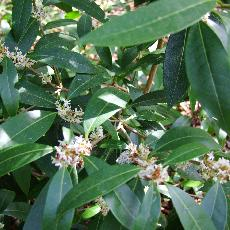 Osmanthus decorus
