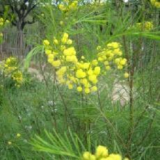 Acacia acuminata