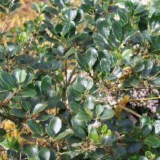 Osmanthus heterophyllus  'Rotondifolius'