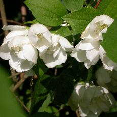 Philadelphus lewisii  'Waterton'