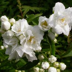 Philadelphus  'Bouquet Blanc'